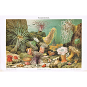 Sea Anemones: Decorative, colorful, antique Lithograph from 1898