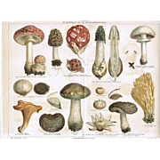 Mushrooms. Antique Chrome Lithograph 1898