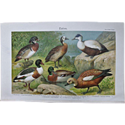 Ducks. Decorative Chromo Lithograph 1900