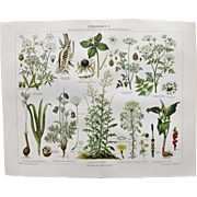 Poisonous Plants. 2 Decorative, larger Chromolithographs from 1899