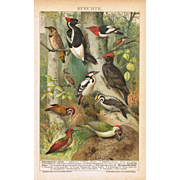 Woodpeckers. Very decorative old Chromolithograph, 1898