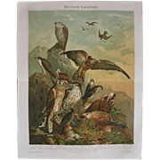 Birds of Prey. Antique Chromolithograph from 1898