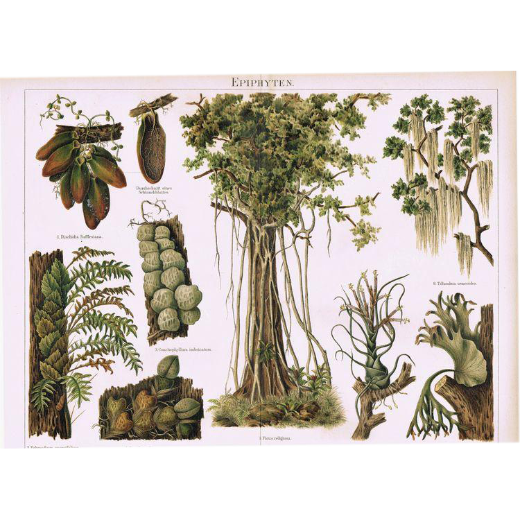 Antique Chromolithograph depicting different Epiphytes, 1898