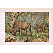 Bison Old Chromo Lithograph from 1900
