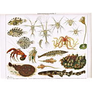 Evolution: Attractive antique Chromolithograph from 1900