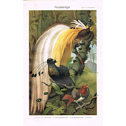 Birds of Paradise. Chromolithograph from 1902