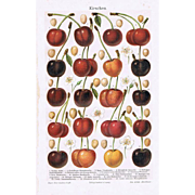 Cherries Old Chromolithograph from 1902