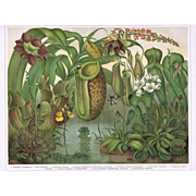 Insect Eating Plants Old Lithograph from 1902