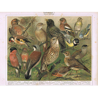 Cage Birds Two Decorative Lithographs from 1902 with 28 Birds