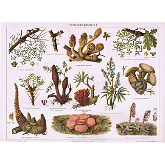 Parasitic Plants Decorative Lithoraph from 1902. 12 Plants