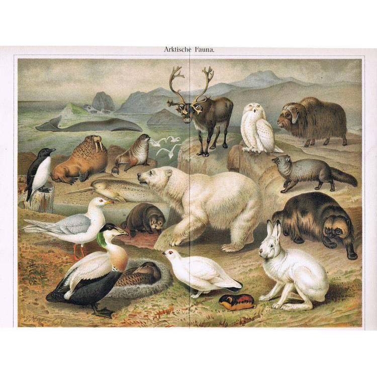 Arctic Fauna: Most attractive Antique Lithograph. 18 Animals