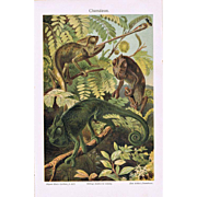 Chameleons: Very decorative Chromo Lithograph from 1898