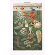 Sea Fauna. Two Chromolithographs from 1900