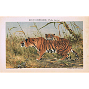 Tigers: Ancient Chromo Lithograph from 1898