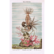 Sea Cucumber Chromo Lithograph 1898
