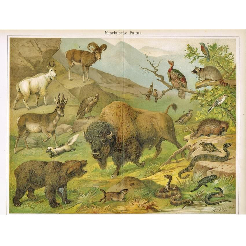 Nearctic Fauna: Antique Chromolithograph from 1900