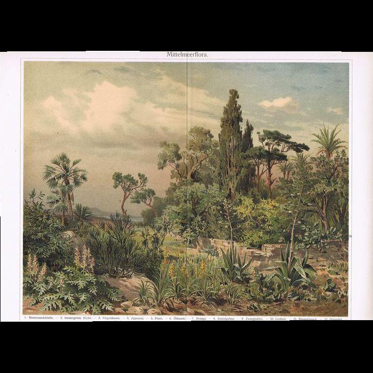 Mediterranean Flora Chromo Lithograph from 1900