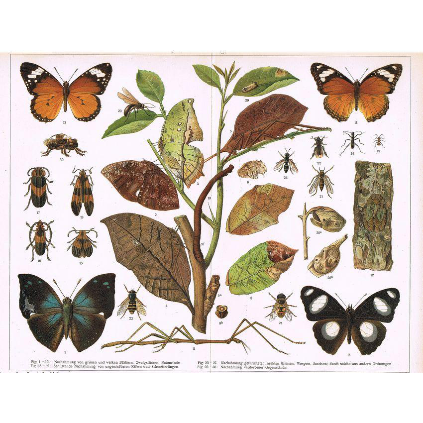 Chromolithograph with Insects Mimicry from 1898