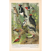 Woodpeckers Lithograph from 1900