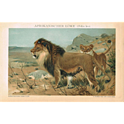 African Lions Lithograph from 1900