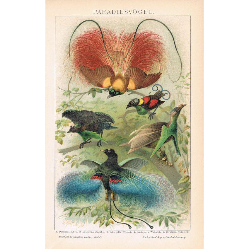 Birds of Paradise Lithograph from 1900