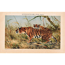 Bengal Tigers Lithograph from 1900