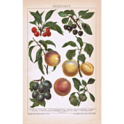 Stone Fruits Lithograph from 1900