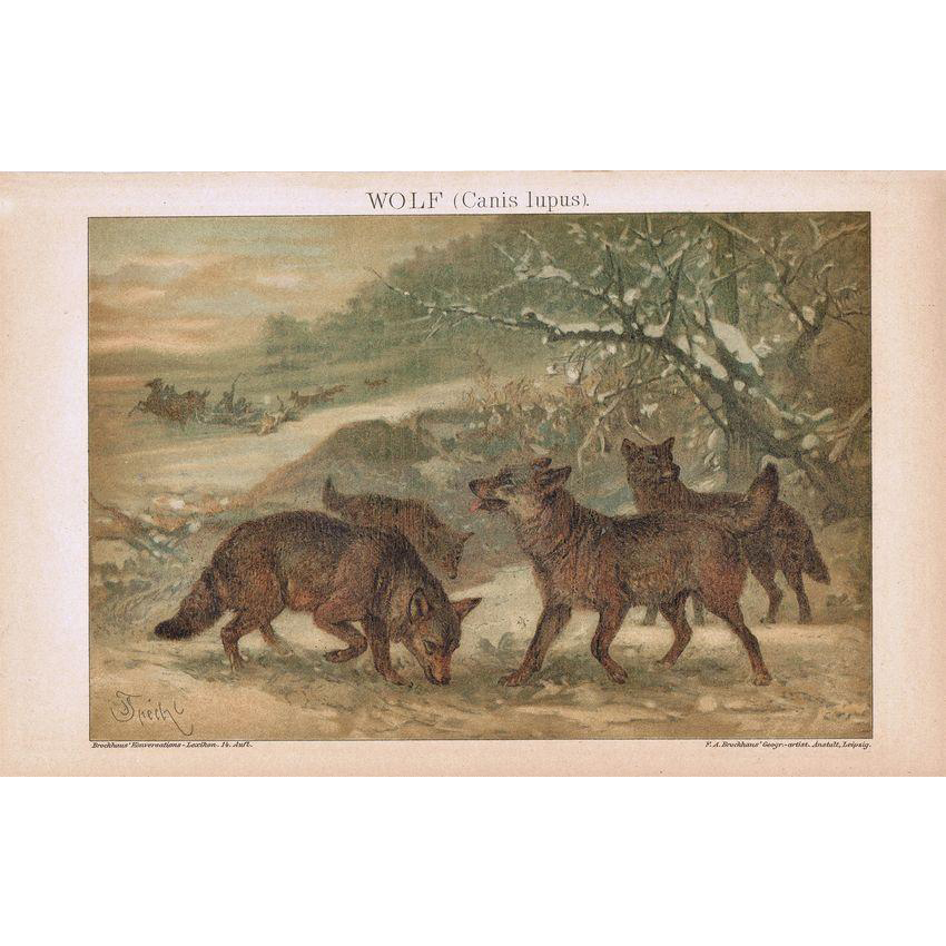 Wolfes Lithograph from 1900