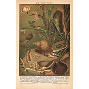 Mollusca Lithograph from 1900