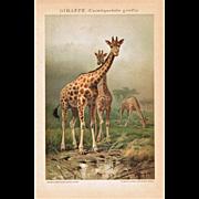 Giraffes Lithograph from 1900