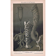 Hexactinellid Sponges Lithograph from 1900
