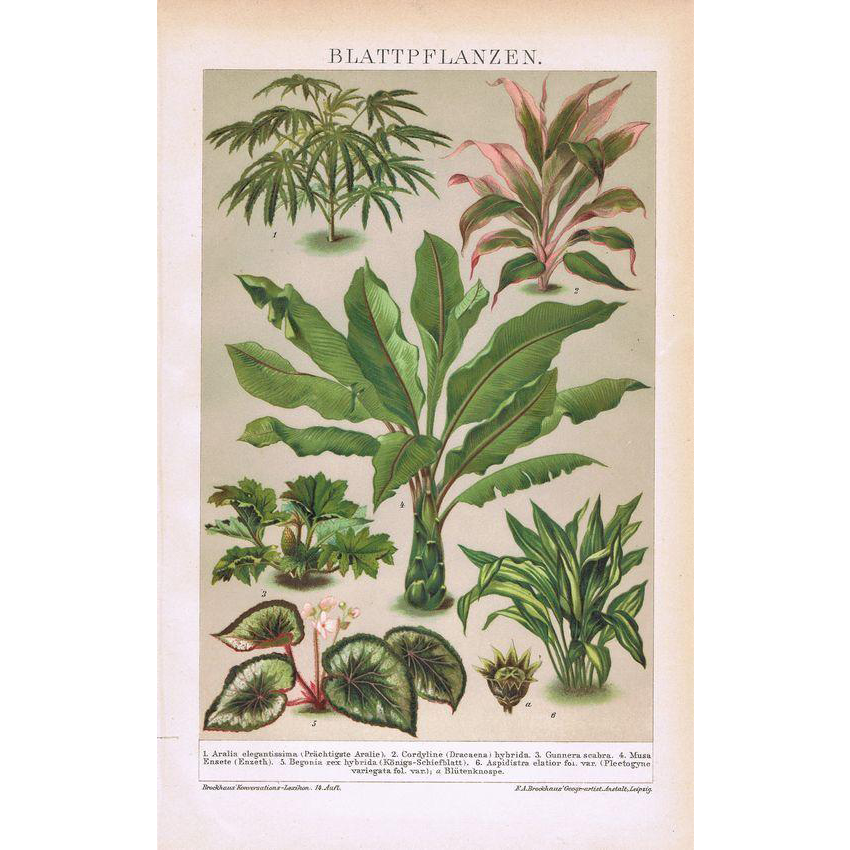 Foliage Plants Antique Monochrome Lithograph 1898