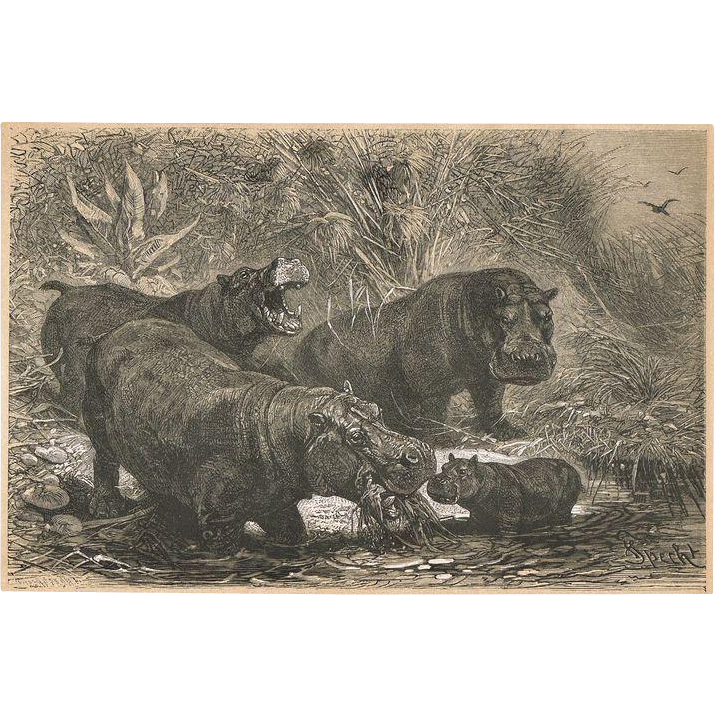 Hippopotamus antique monochrome Lithograph 1898