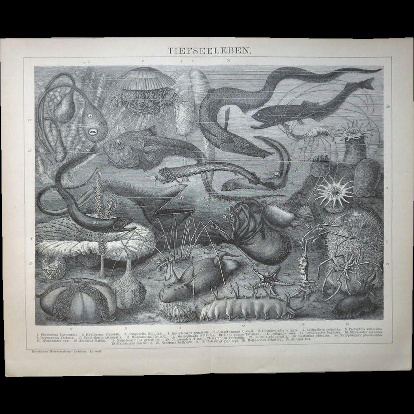 Deep Sea Fauna Antique Lithograph 1898