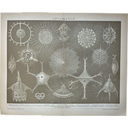 Radiolaria Lithograph from 1900