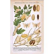 Silk Worm and Breeding Lithograph from 1900