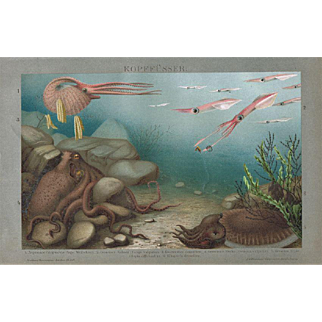 Cephalopods. Decorative Chromo Lithograph of Octopuses from 1898