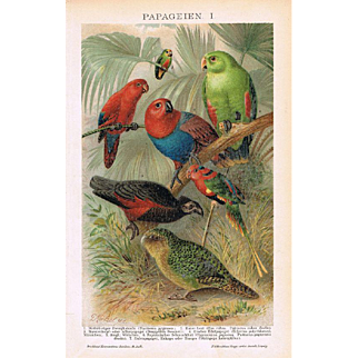Parrots: Very decorative Chromo Lithograph from 1900