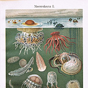 Deep Sea Fauna. Two Antique Chrome Lithographs from 1898