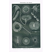 Plankton and Sweet Water Flora Two Lithographs