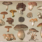 Mushrooms. Two Antique Chrome Lithographs from 1898