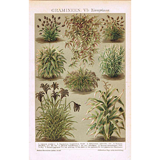 Poaceae or Gramineae.  Antique Chrome Lithograph from 1898