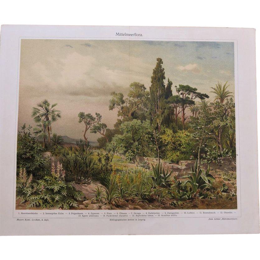 Mediterranean Flora. Antique Chrome Lithograph from 1898