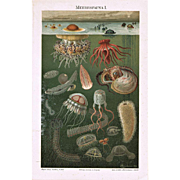 Deep Sea Fauna Two Chromo Lithographs 1898