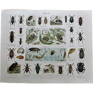 Beetles Antique Graphic from 1900