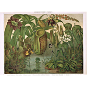 Insect Eating Plants Chromo Lithograph