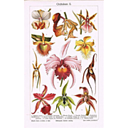 Orchids. Fine Chromo Lithograph from 1900