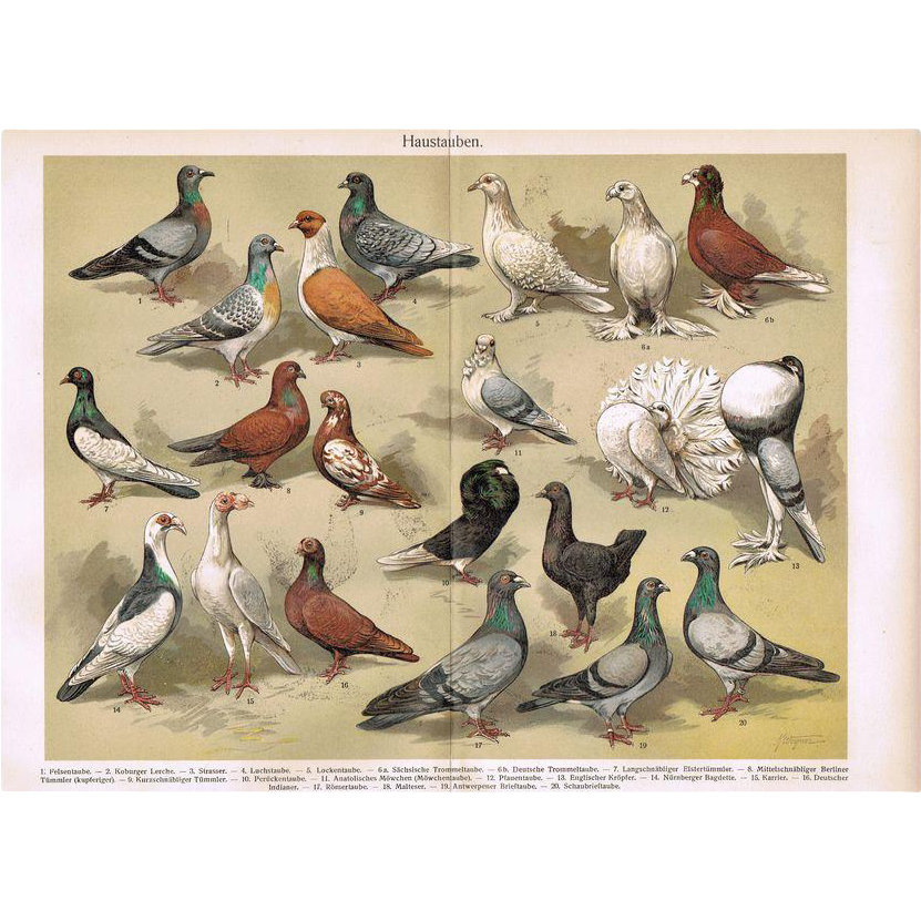 Pigeons: Antique Chromo Lithograph from 1900