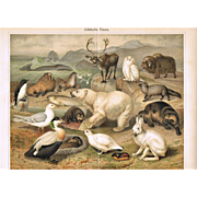 Arctic Fauna: Most attractive Antique Lithograph. 18 Animals, 1898