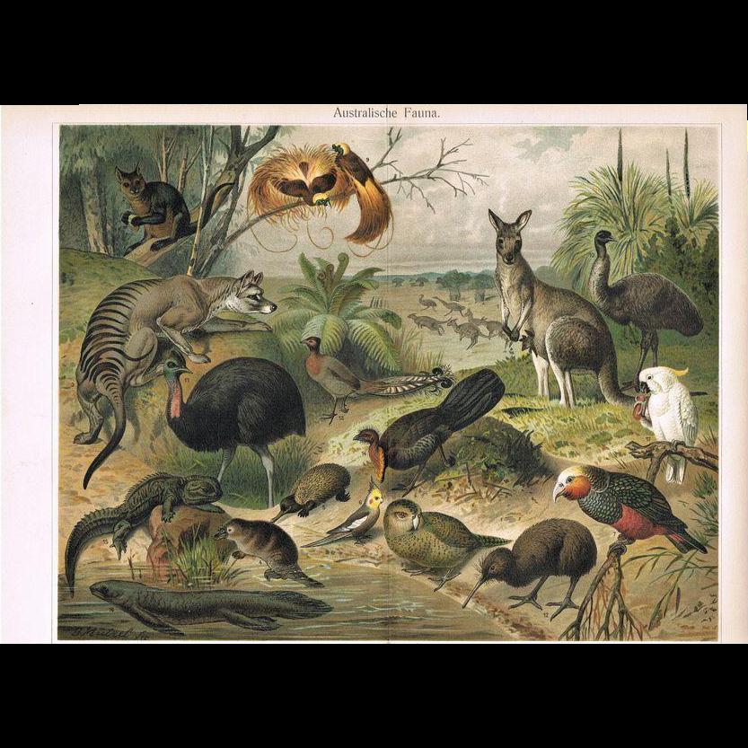 Australian Fauna Outstanding Antique Lithograph 17 Animals 1900